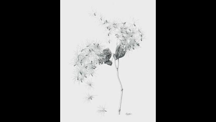 Common milkweed (Asclepias syriaca) in ink (Heeyoung Kim)