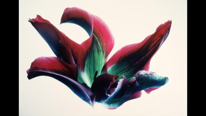 """Mary Koga, Tulips: RG #16, from the """"Floral & Leaves"""" series, 1971, portfolio 1982-1996"""