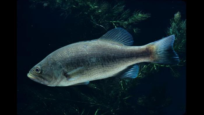 A largemouth bass (Credit: Shedd Aquarium)