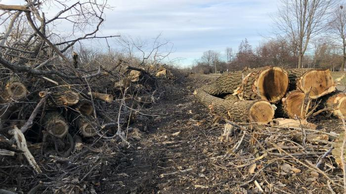 Invasive buckthorn and aggressive cottonwoods were ripped up and will be replaced by more diverse native species. (Patty Wetli / WTTW News)