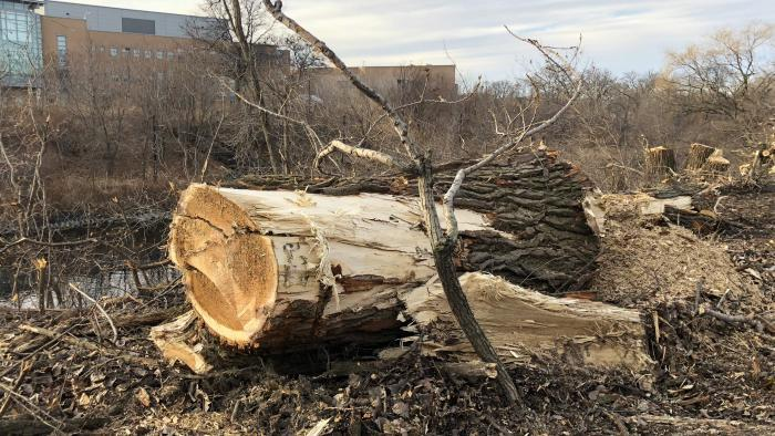 "The size of some of the trunks led neighbors to believe the trees were ""old growth,"" but Park District staff said cottonwoods grow extremely quickly, and the trees were relatively young. (Patty Wetli / WTTW News)"