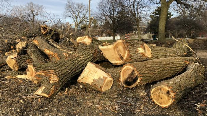 Neighbors were shocked in early January when scores of trees were cut down in Legion Park as the first step of a riverbank restoration project. (Patty Wetli / WTTW News)