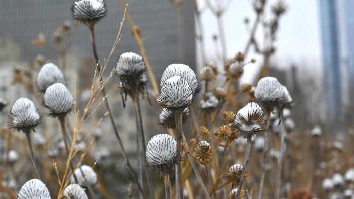 Suspended snow on coneflower (Jo ana Kubiak / Lurie Garden)