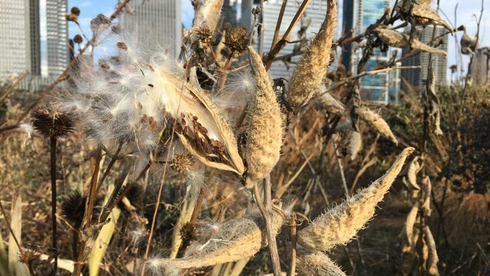 Milkweed pods (Jo ana Kubiak / Lurie Garden)