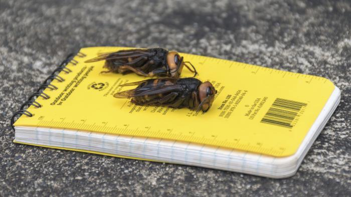 In this April 23, 2020, photo provided by the Washington State Department of Agriculture, dead Asian giant hornets sit on a researcher's field notebook in Blaine, Wash. (Karla Salp / Washington State Department of Agriculture via AP)