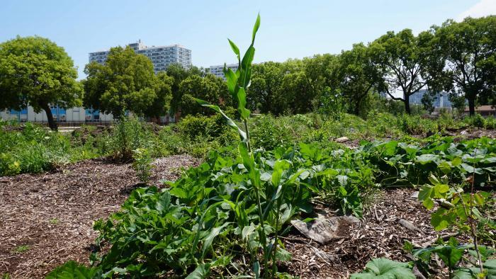 Corn growing at Nature's Little Recycler's earthworm farm. (Alexandra Silets / Chicago Tonight)