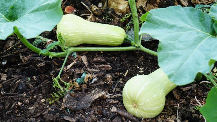 Squash growing at Nature's Little Recycler's earthworm farm. (Alexandra Silets / Chicago Tonight)