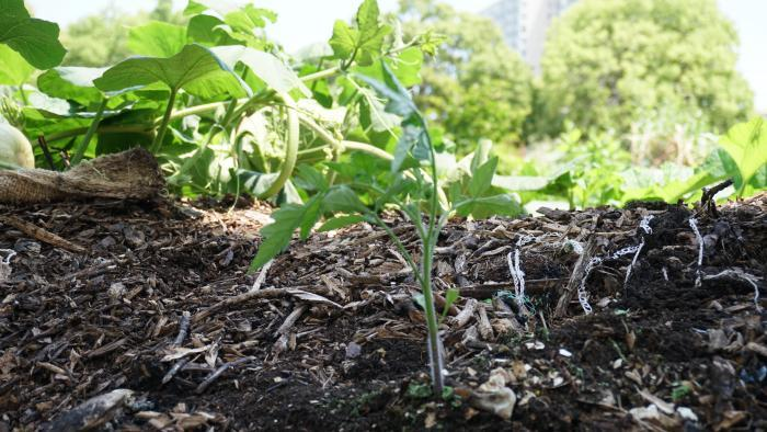 Tomato plant growing at Nature's Little Recycler's earthworm farm. (Alexandra Silets / Chicago Tonight)