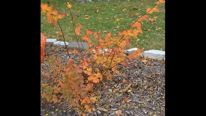 Ninebark, fall (Credit: Charlotte Adelman and Bernard Schwartz, Ohio University Press)