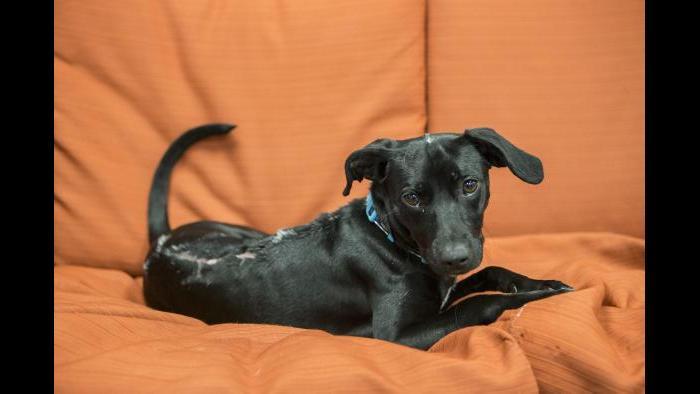 Shedd's newest rescue makes herself comfortable in the aquarium's dog lounge. (Brenna Hernandez / Shedd Aquarium)