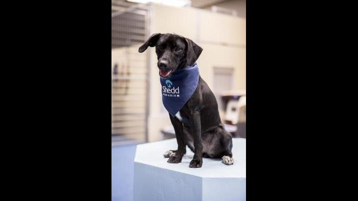 Peach strikes a pose on a podium used for training exercises in Shedd's dog lounge. (Brenna Hernandez / Shedd Aquarium)
