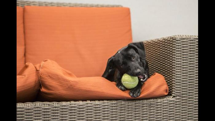 Peach gets comfortable with a new toy in Shedd's dog lounge. (Brenna Hernandez / Shedd Aquarium)