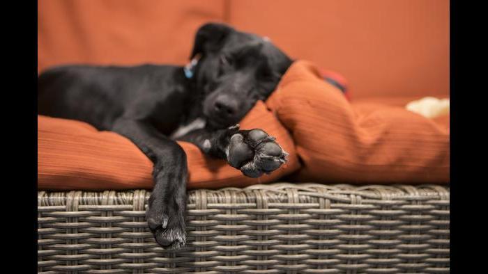 Peach takes a nap in Shedd's dog lounge. (Brenna Hernandez / Shedd Aquarium)