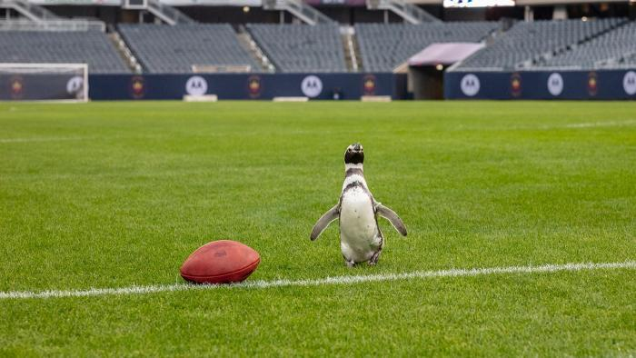 The Shedd's penguins looked right at home on the gridiron. (Brenna Hernandez / Shedd Aquarium)