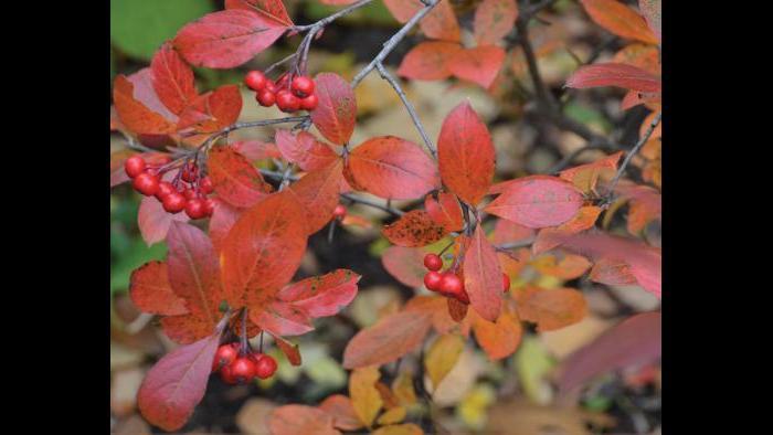 Red chokeberry (Credit: Charlotte Adelman and Bernard Schwartz, Ohio University Press)