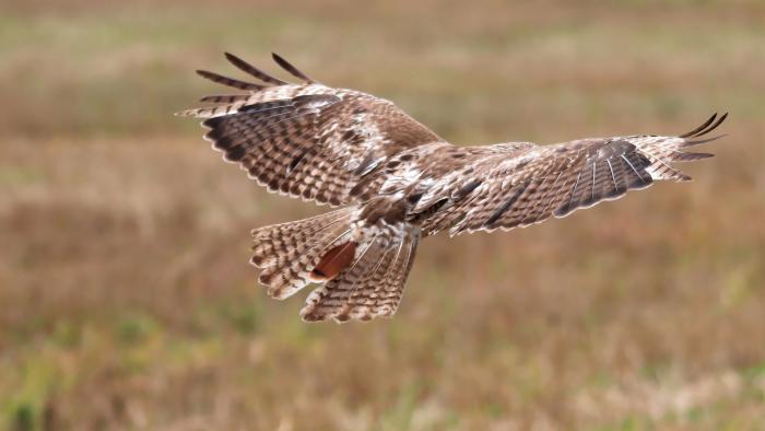 A juvenile red-tailed hawk in flight. (edbo23 / Pixabay)