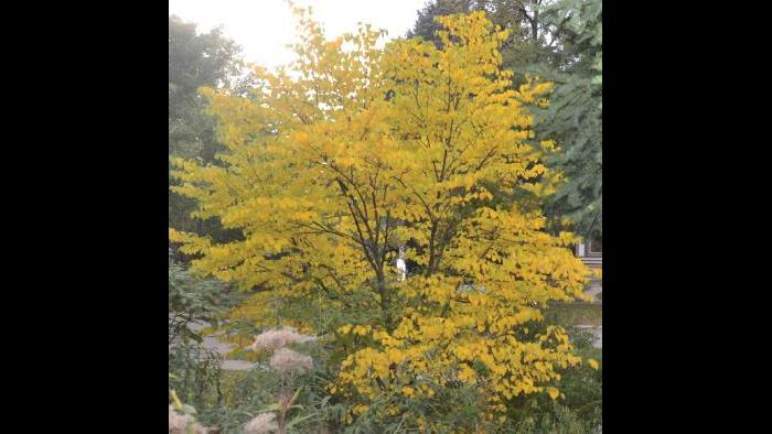 Redbud, fall (Credit: Charlotte Adelman and Bernard Schwartz, Ohio University Press)