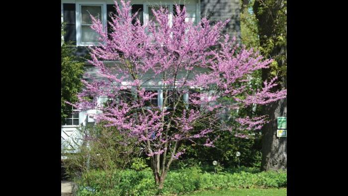 Redbud, spring (Credit: Charlotte Adelman and Bernard Schwartz, Ohio University Press)