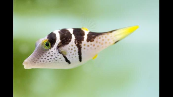 "The saddled puffer is one of 100 species that can be seen in ""Underwater Beauty."" (Courtesy of Shedd Aquarium)"