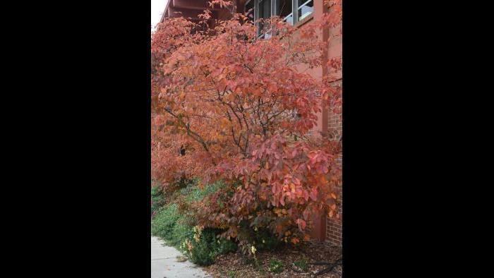 Serviceberry Juneberry (Credit: Charlotte Adelman and Bernard Schwartz, Ohio University Press)