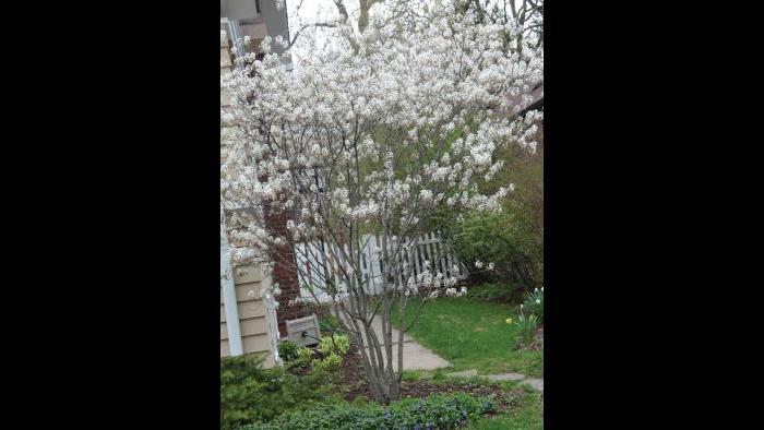 Serviceberry Juneberry, spring (Credit: Charlotte Adelman and Bernard Schwartz, Ohio University Press)