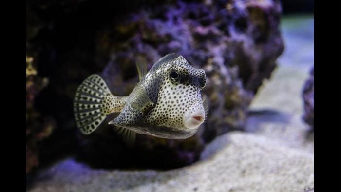 The spotted trunkfish. (Courtesy of Shedd Aquarium)