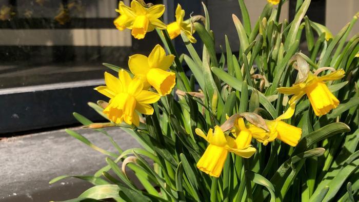 Daffodil. (Patty Wetli / WTTW)