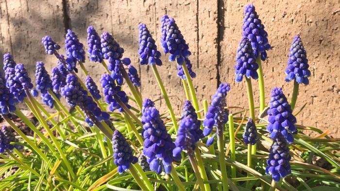 Grape hyacinth. (Patty Wetli / WTTW)
