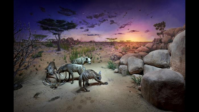 A view of the now-opened hyena diorama. (© The Field Museum)