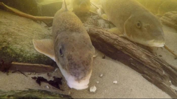 Suckers migrate from the Great Lakes into rivers and creeks to spawn in the spring. (Courtesy of Shedd Aquarium)