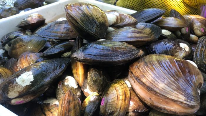 """Invasive zebra and quagga mussels have wreaked havoc on the Great Lakes ecosystem. But the region's native freshwater mussels, as seen in this photo, act as the """"livers"""" of the rivers. (Courtesy of Shedd Aquarium)"""
