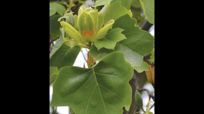 Tulip tree leaves (Credit: Charlotte Adelman and Bernard Schwartz, Ohio University Press)