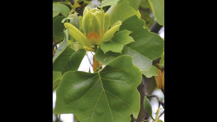 Tulip tree leaves (Credit: Charlotte Adelman and Bernard Schwartz, Ohio University Press)