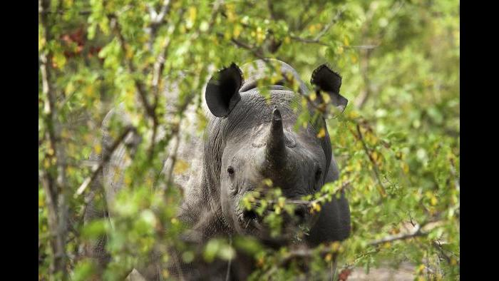 This 2016 photo provided by African Parks shows a black rhino under protection in Malawi's Liwonde National Park, managed by African Parks in partnership with the Department of National Parks and Wildlife. (Frank Weitzer / African Parks via AP)