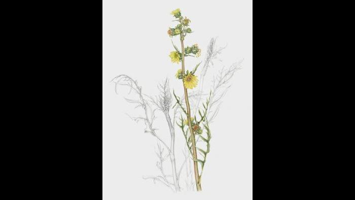 Compass plant (Silphium laciniatum) in watercolor and graphite pencil. (Heeyoung Kim)