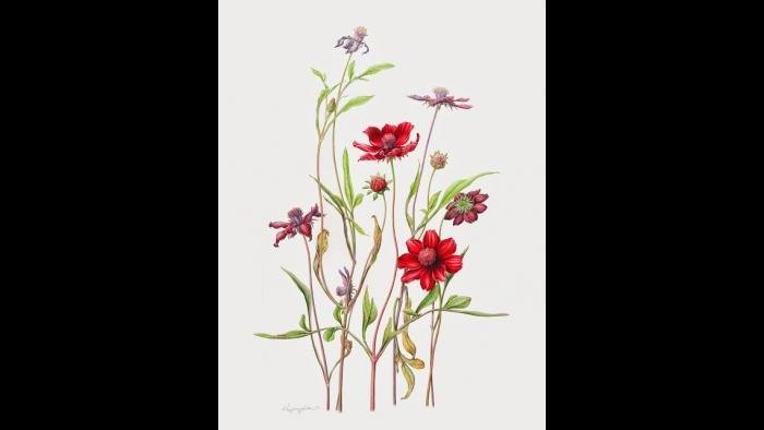 Chocolate cosmos (Cosmos atrosanguineus) in watercolor (Heeyoung Kim)
