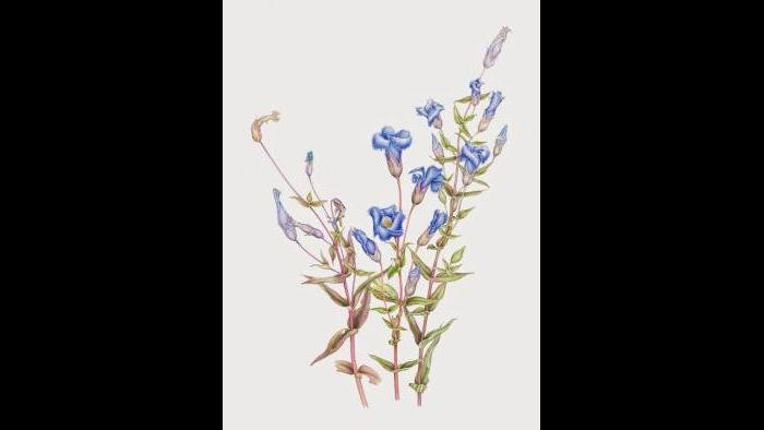 Fringed Gentian (Gentianopsis crinita) in watercolor (Heeyoung Kim)