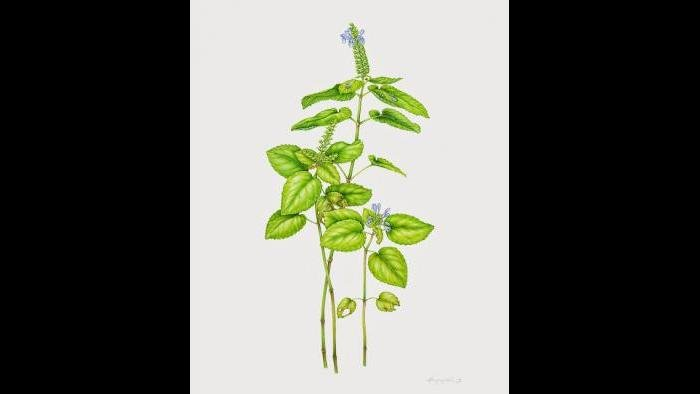 Heart-Leaved Skullcap, (Scutellaria ovata) in watercolor (Heeyoung Kim)