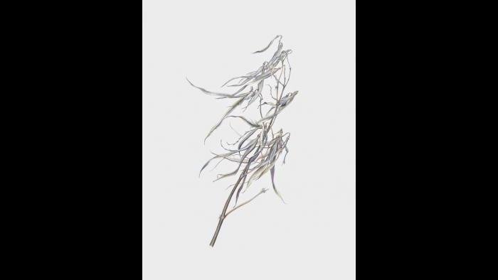 Indian Hemp(Apocynum cannabinum) in the winter. (Heeyoung Kim)
