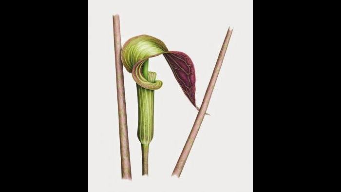 Jack in the Pulpit (Arisaema triphyllum) in watercolor (Heeyoung Kim)