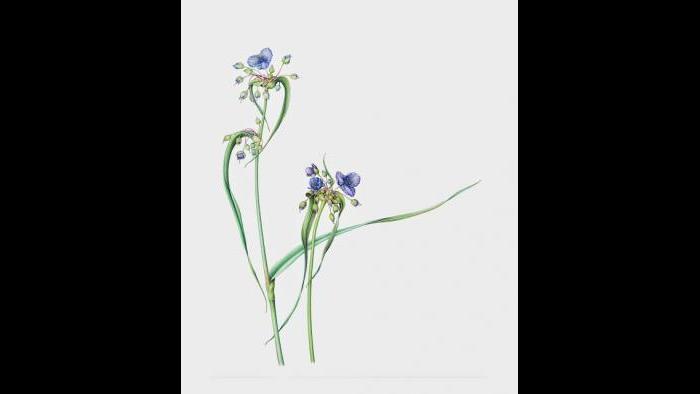 Ohio Spiderwort (Tradescantia ohiensis) in watercolor (Heeyoung Kim)
