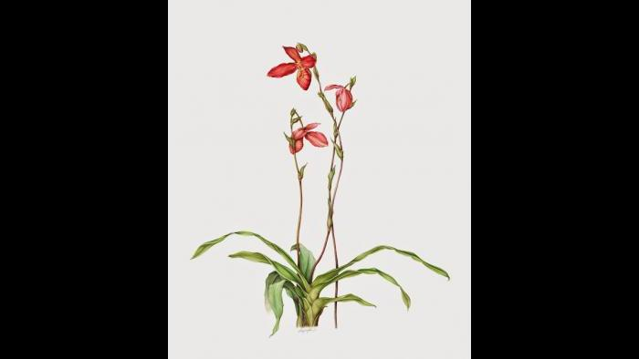Orchid (Phragmipedium) in watercolor (Heeyoung Kim)