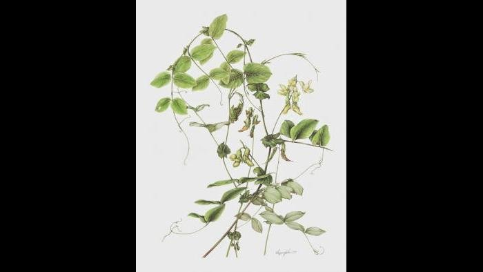 Pale Vetchling Study (Lathyrus ochroleucus) in watercolor (Heeyoung Kim)