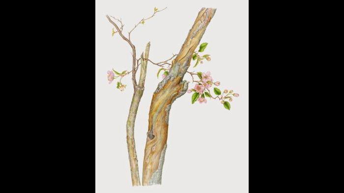 Prairie Crabapple (Malus ioensis) in watercolor (Heeyoung Kim)