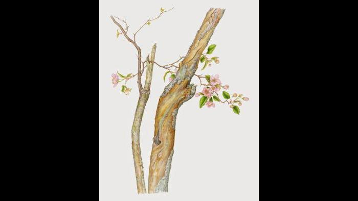 Prairie Crabapple (Malus ioensis) in watercolor (Heeyoung Kim)