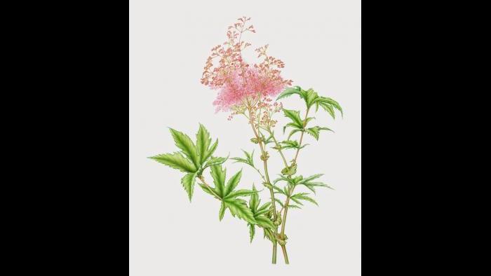Queen-of-the-Prairie (Filipendula rubra) in watercolor (Heeyoung Kim)