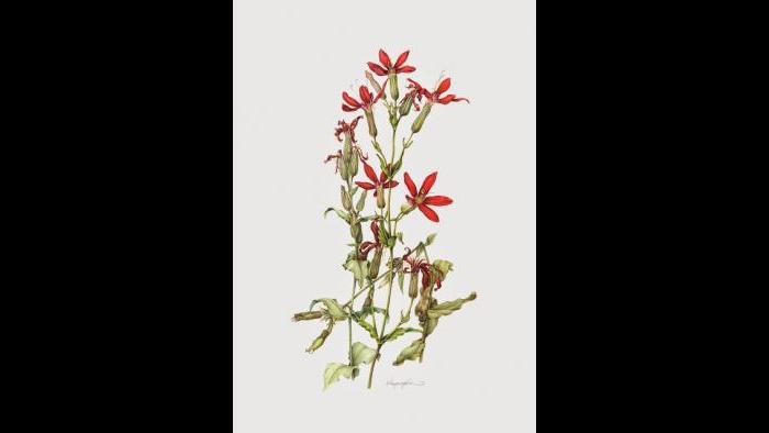 Royal Catchfly (Silene regia) in watercolor (Heeyoung Kim)