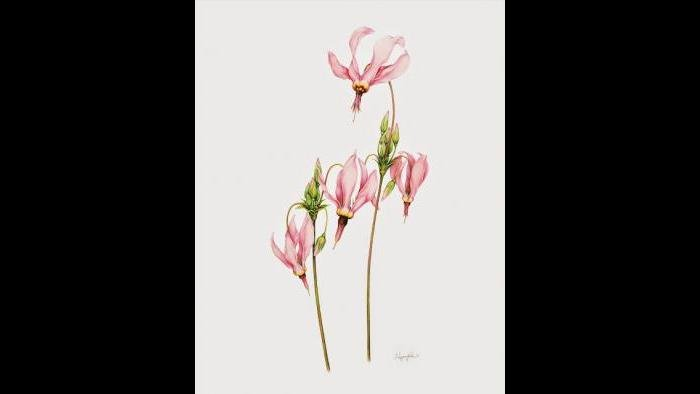 Shooting Star (Dodecatheon meadia) in watercolor (Heeyoung Kim)