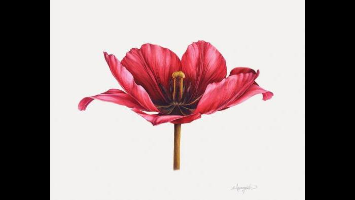 Tulip in watercolor (Heeyoung Kim)