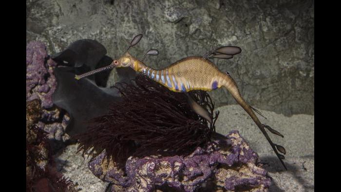 A weedy seadragon (Courtesy of Shedd Aquarium)